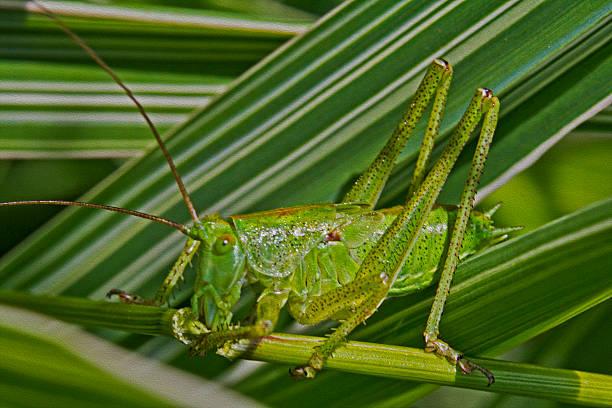 green grasshopper, oil paint stylization - locust swarm stockfoto's en -beelden