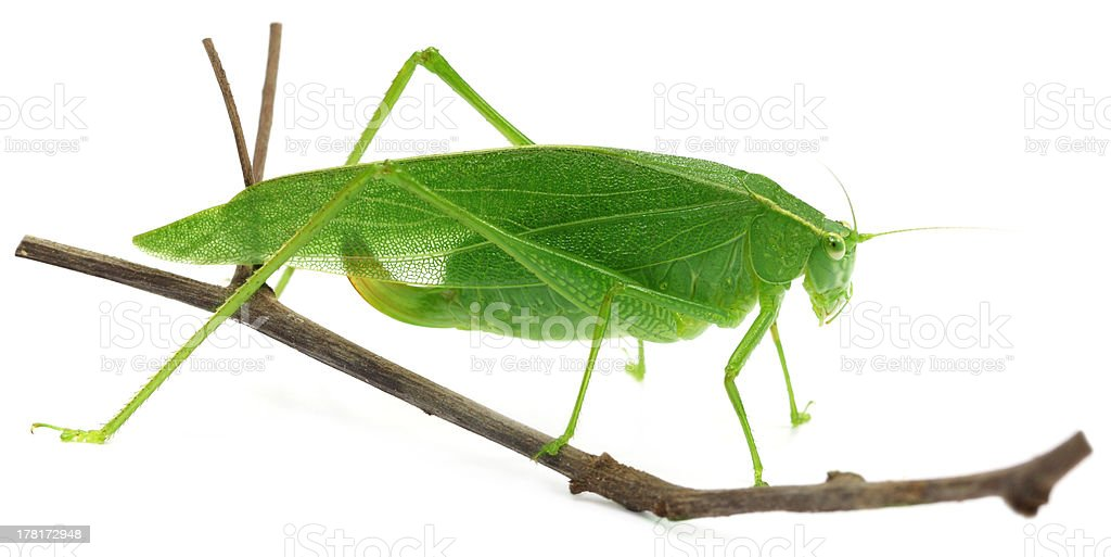 Green grasshopper on a twig royalty-free stock photo