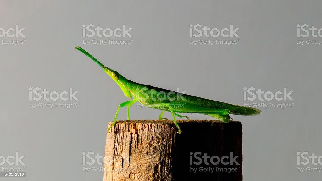 green grasshopper on bamboo stick stock photo