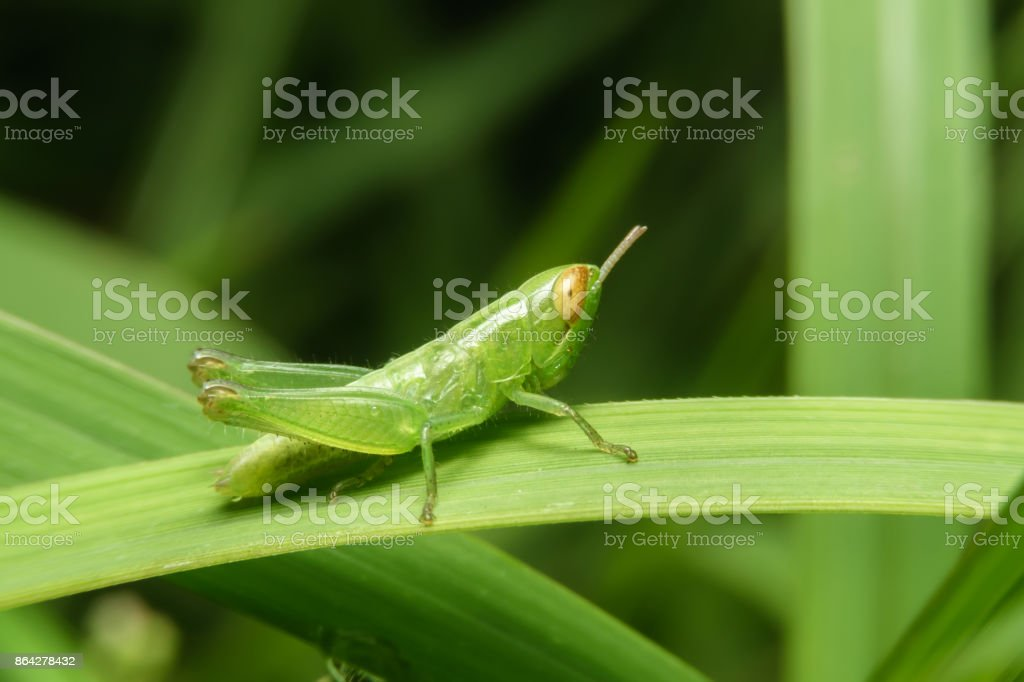 Green grasshopper on green leaf royalty-free stock photo