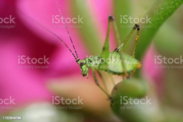 Green grasshopper on pink flower picture id1152849796?b=1&k=6&m=1152849796&s=612x612&h=3xfkqf0 i9aipzmmehxw96qawi8wox6qefgszwwguao=