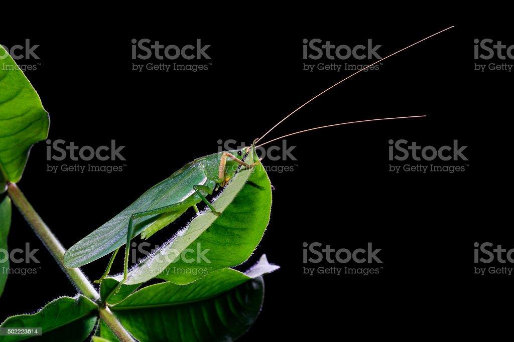 green grasshopper on the leaves on black background stock photo