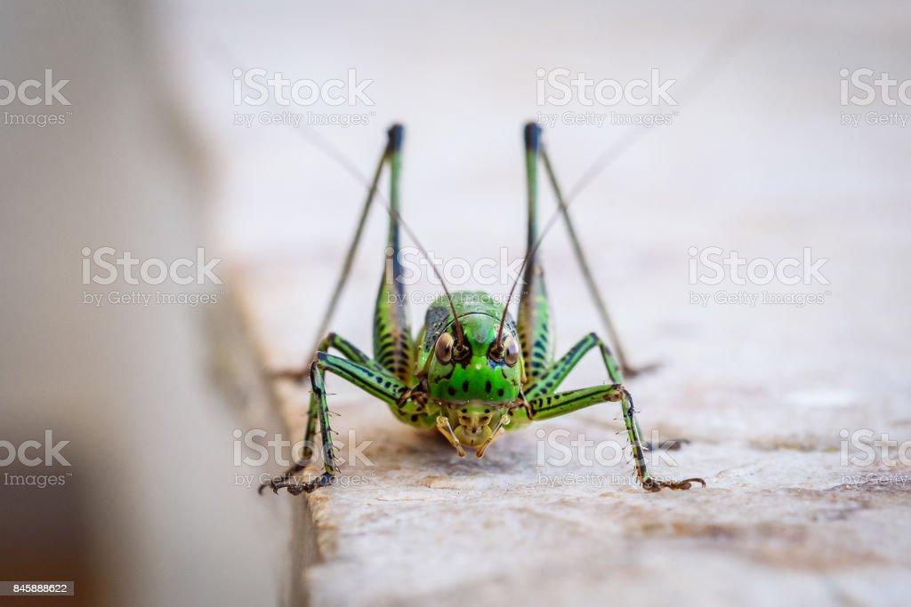 Green grasshopper or locust macro shot on a outdoor terrace. stock photo