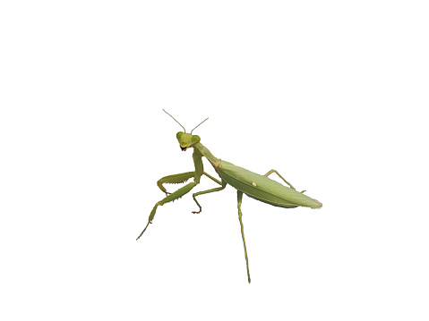 A female mantis on a white background
