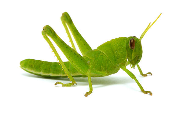 Royalty Free Grasshopper Pictures, Images and Stock Photos ...