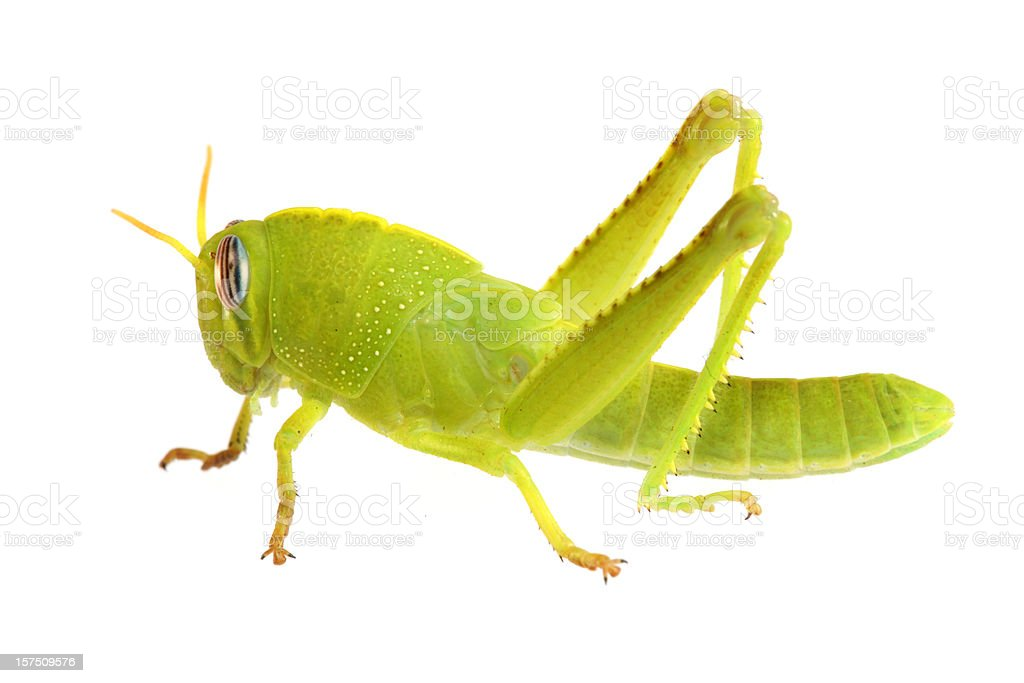 Green grasshopper (XXXL) royalty-free stock photo