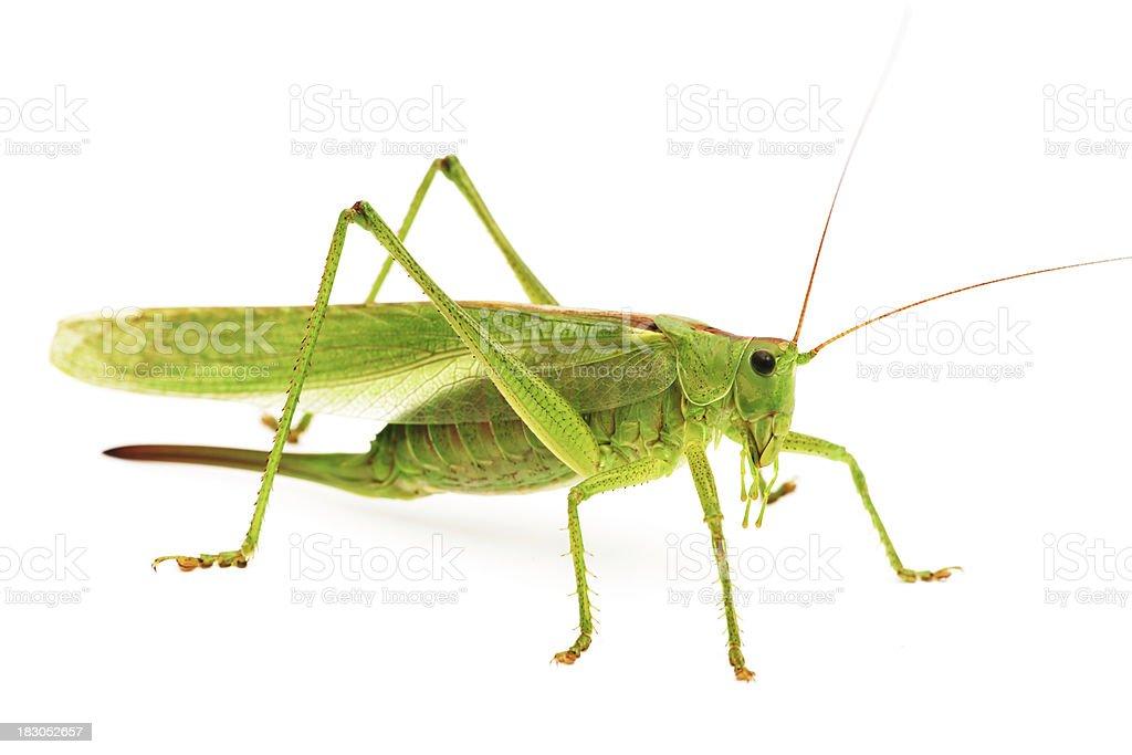 Fotografía de Saltamontes Verde y más banco de imágenes de Animal ...