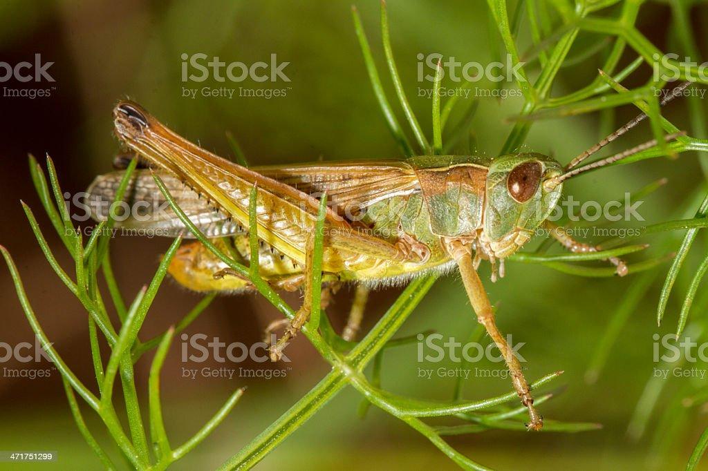 green grasshopper (Chorthippus apicalis) royalty-free stock photo