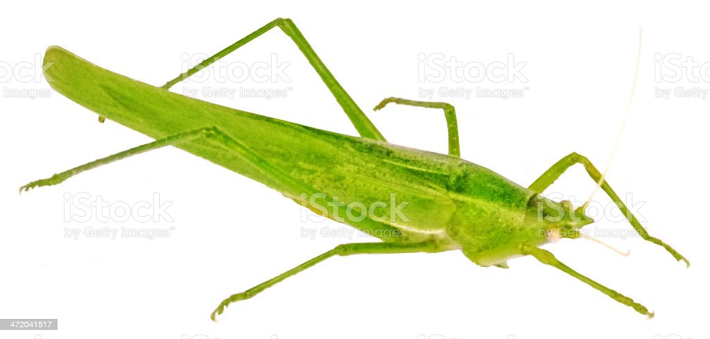 Green Grasshopper. royalty-free stock photo