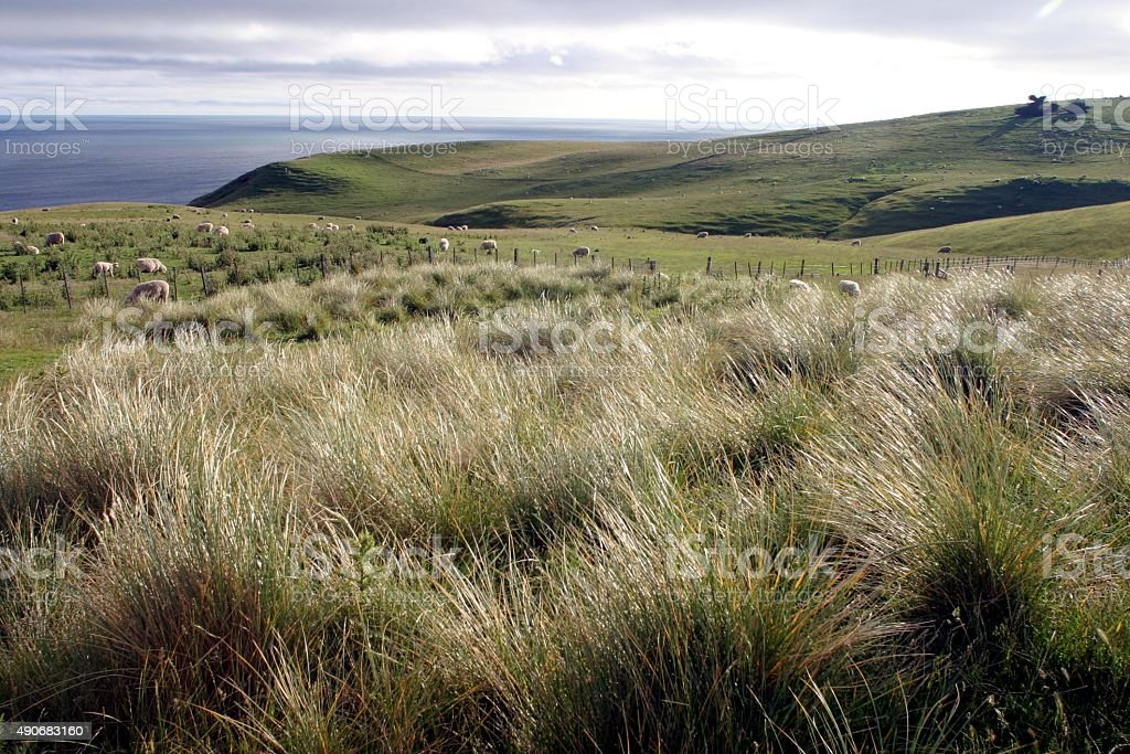Grüne Gras Feld mit Schafen und tussocks auf den Ozean – Foto
