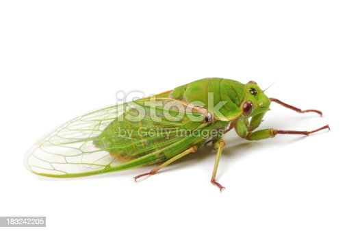 The Green Grocer Cicada is the world's loudest insect. Cyclochila australasiae. On white background.