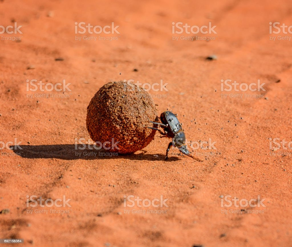 Green Grooved Dung Beetle stock photo