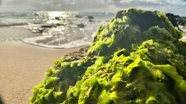 green growing kelp on a rock somewhere on a beach - maui, hi samuel howell stock pictures, royalty-free photos & images