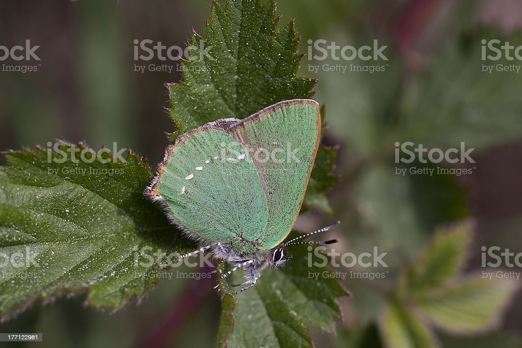 Green Hairstreak butterfly (Callophrys rubi) - the Netherlands stock photo