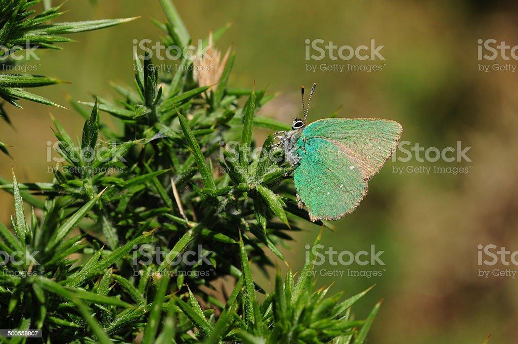 Green Hairstreak Butterfly, U.K. royalty-free stock photo
