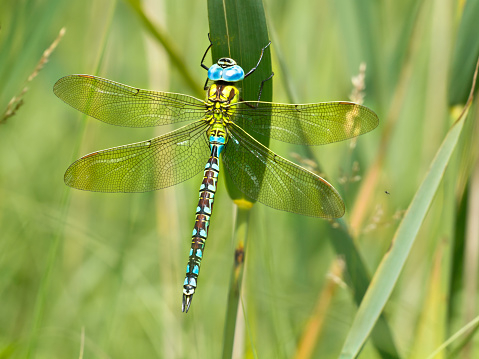 Green Hawker Dragonfly (Aeshna viridis) resting on the leafs of reed (Phragmites australis) in natural habitat
