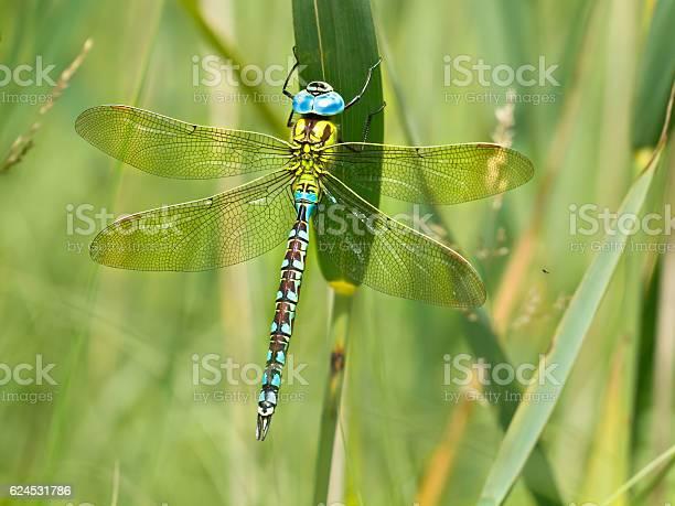 Green hawker dragonfly resting on a leaf picture id624531786?b=1&k=6&m=624531786&s=612x612&h=gw q37fkqf2e8bshoiuhx jwm2 umhll6sw5dqjft1i=