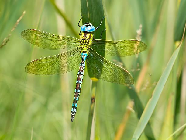 Green hawker dragonfly resting on a leaf picture id624531786?b=1&k=6&m=624531786&s=612x612&w=0&h=dowzcie3rzis9f4fptddchwoazdbh8wohoevfyswg7k=