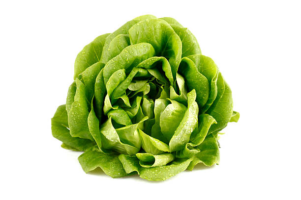 Green head of lettuce glistening with droplets of water Fresh butterhead lettuce butterhead lettuce stock pictures, royalty-free photos & images