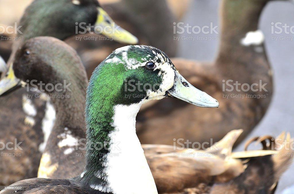 Verde Jefe de pato macho, está rodeado de muchos otros foto de stock libre de derechos
