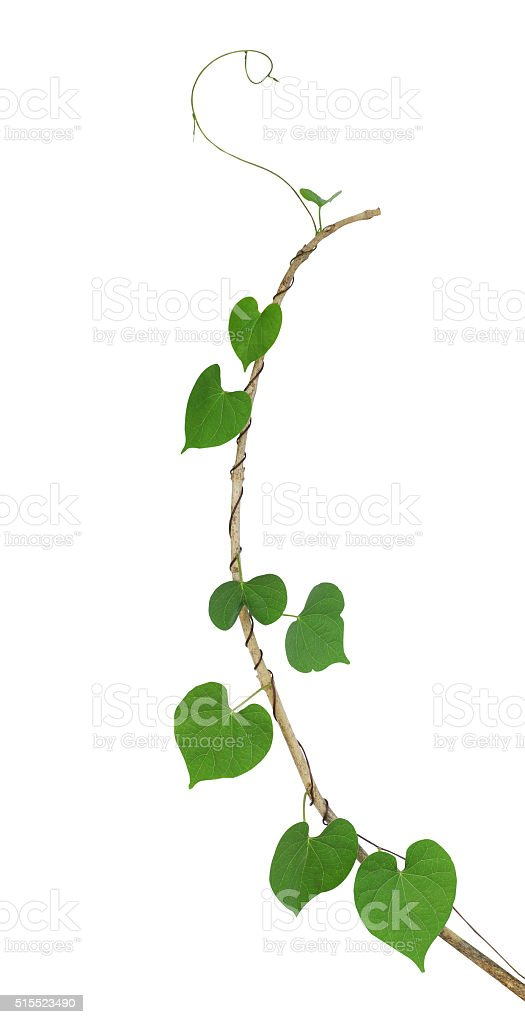 Green heart shaped leaf climbing plant on dried twig stock photo