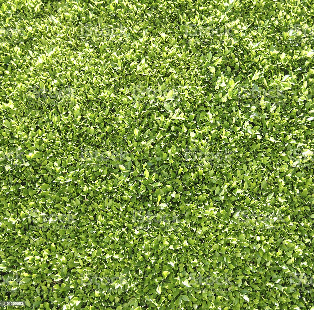 Green Hedge Background stock photo