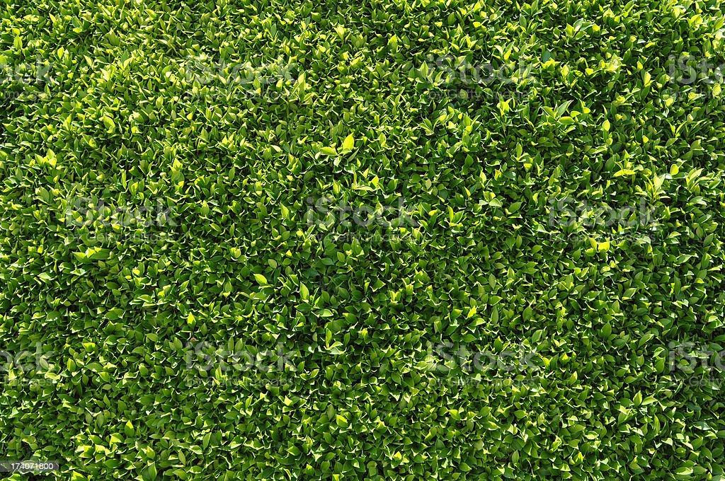 Arrière-plans ou papier peint vert Haie - Photo