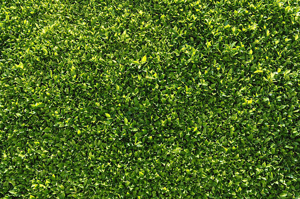 Green Hedge Backgrounds or Wallpaper stock photo