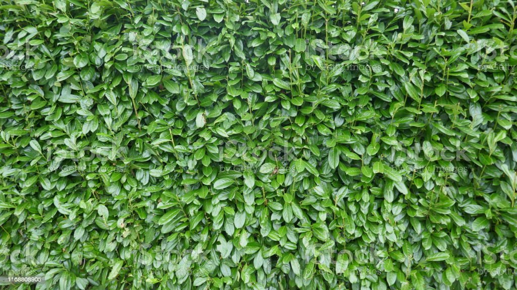 Beautiful, evergreen cherry laurel hedge. Prunos laurocerasus.