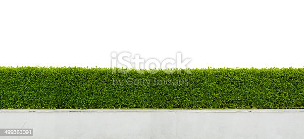 Panoramic view of beautiful hedge isolated on white background