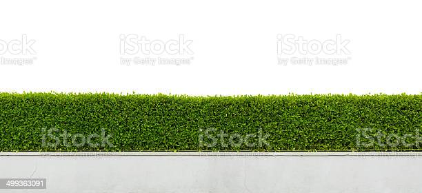 Photo of Green hedge isolated on white