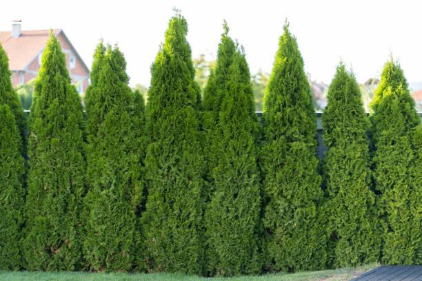 Grüne Hecke von Thujabäumen – Foto