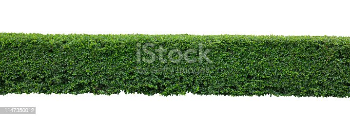 Green hedge or Green Leaves Wall on isolated.