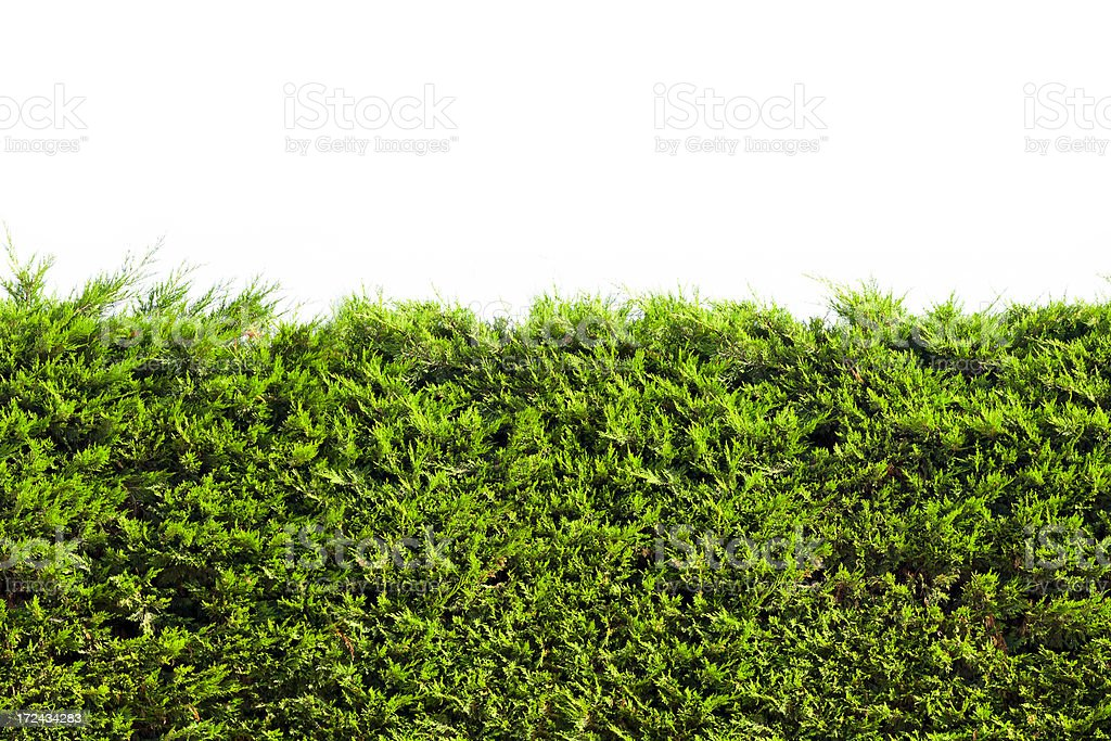Tropical green hedge over wall. Isolated on white, Seamless