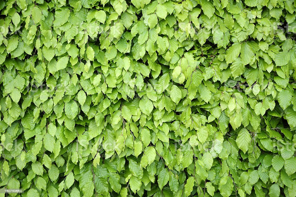 green hedge royalty-free stock photo