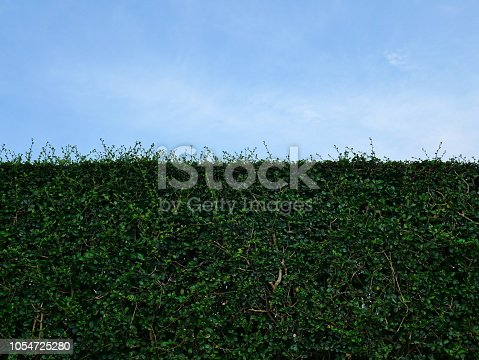 601026242istockphoto Green hedge with fence and blue sky 1054725280