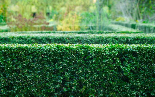 Green hedges in park stock photo