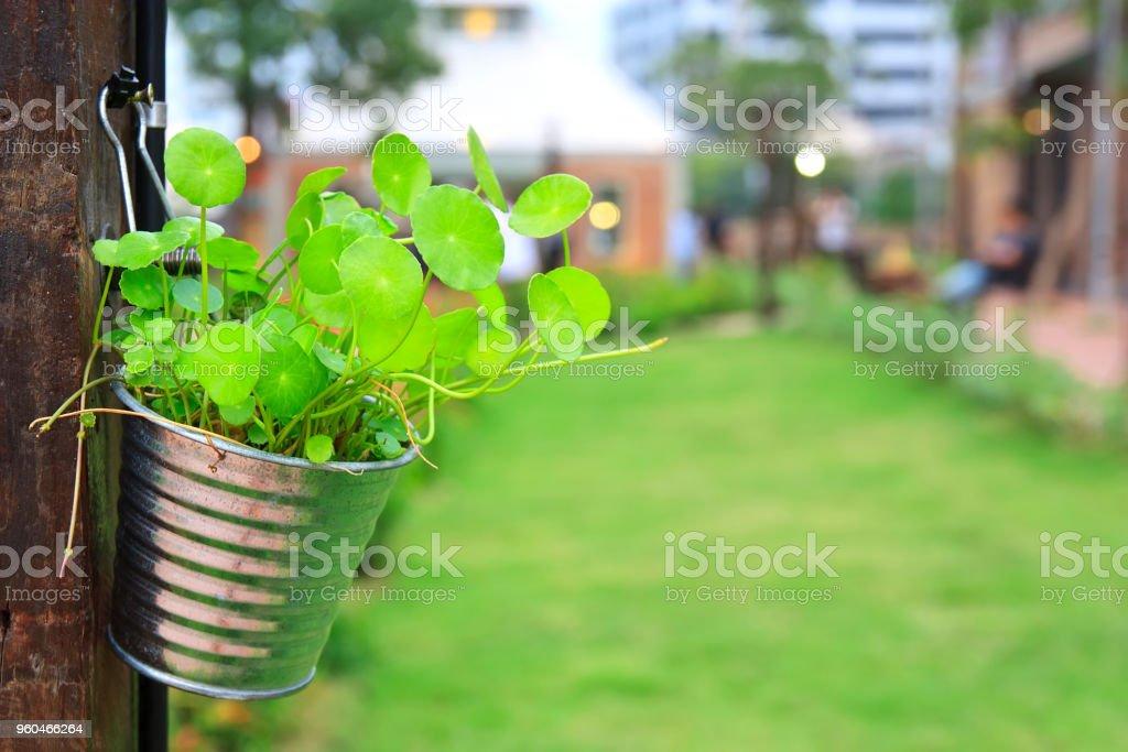 grüne Kraut Pflanze Gotu Kola, asiatischen oder indischen Abel in Blumentopf hängen Holz Pole im grünen Rasen Garten – Foto
