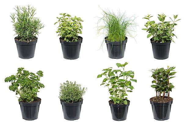 zielony zioła na białym tle - liść mięty przyprawa zdjęcia i obrazy z banku zdjęć