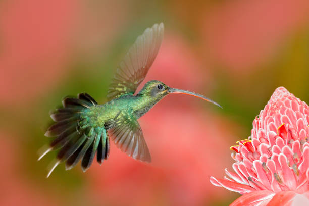 Green Hermit, Phaethornis guy, rare hummingbird from Trinidad. Shiny bird flying next to beautiful pink red flower in jungle. Action feeding scene in tropical forest, animal in nature jungle habitat. stock photo