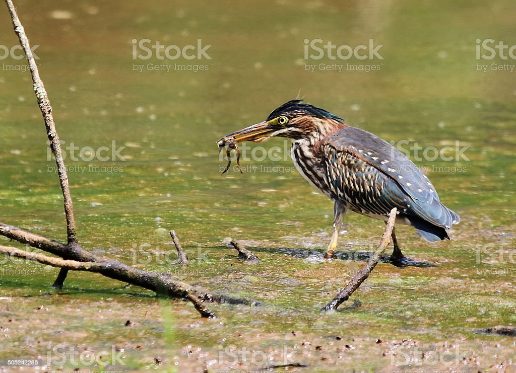 Green Heron catching a frog stock photo