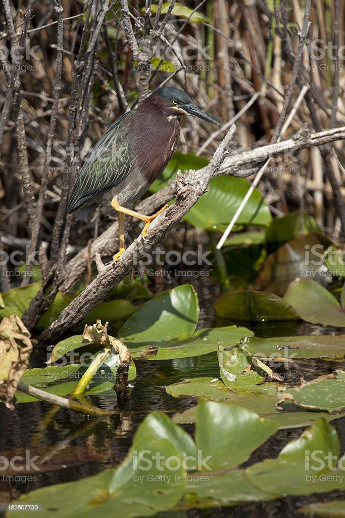 Green Heron Everglades NP Florida royalty-free stock photo