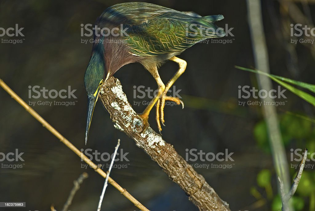 Green Heron Hunting stock photo
