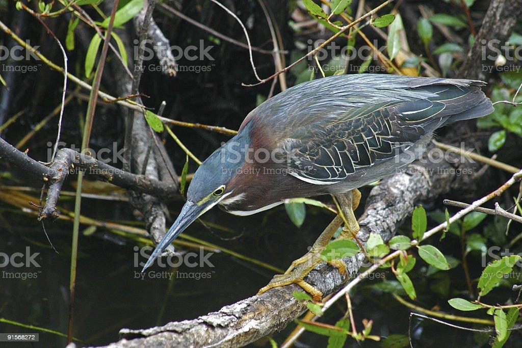Green Heron hunting royalty-free stock photo