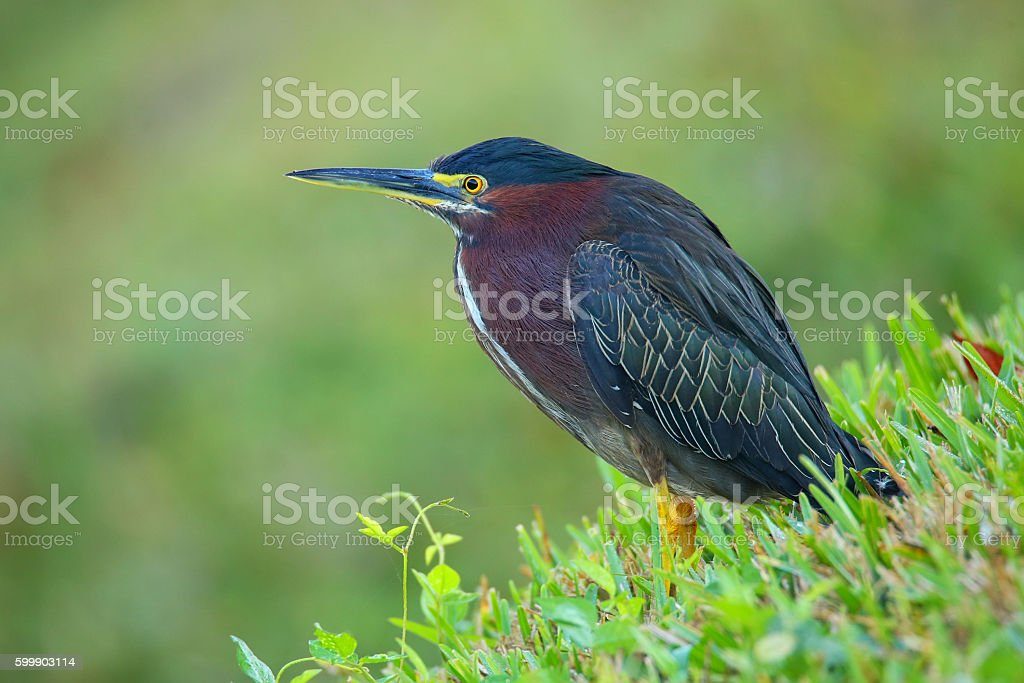 Green heron in a grass stock photo