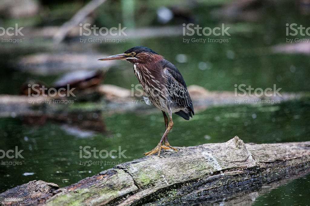 Green Heron in a Local Pond stock photo
