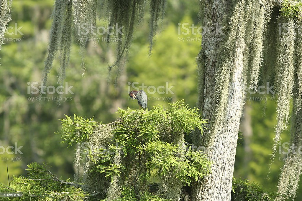 Green Heron in a Mossy Tree royalty-free stock photo