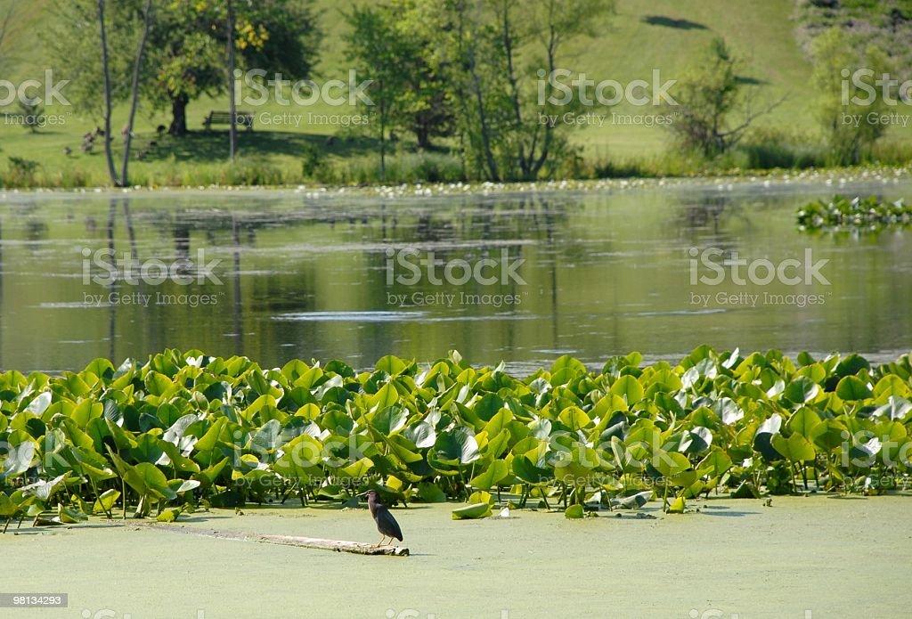 Airone striato in Natura foto stock royalty-free