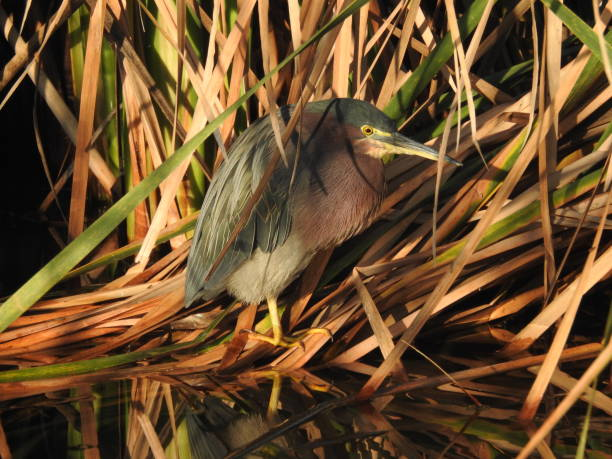 Green heron nestled at the water's edge stock photo
