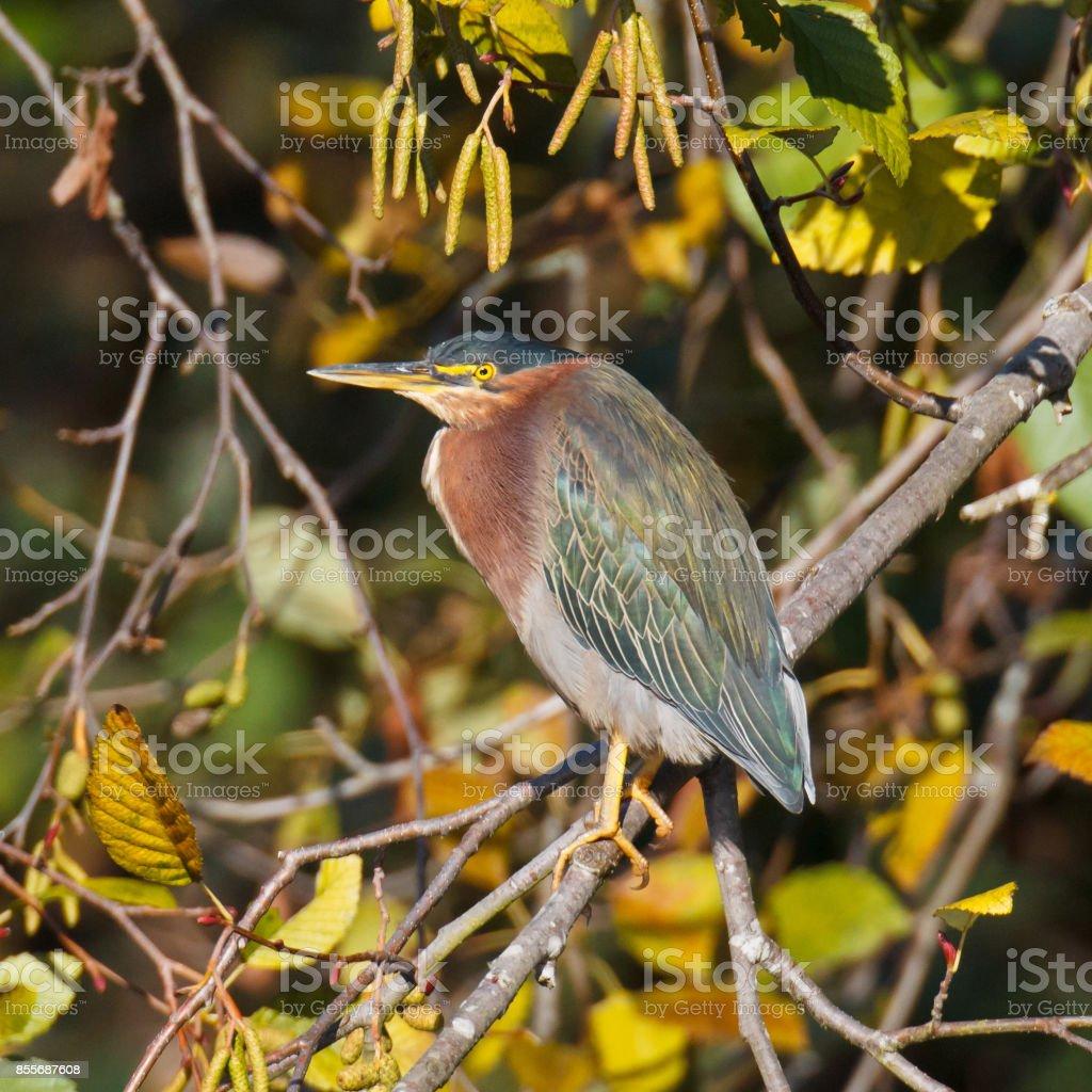 Green Heron on branch stock photo